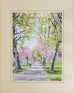 Dock Park Cherry Blossom Vic Hulme